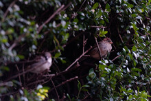 Two Sparrows Are Stand In A Bush