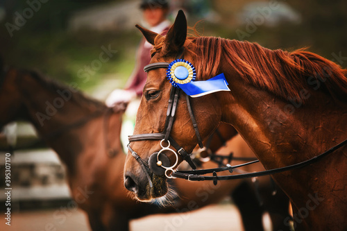 Valokuvatapetti A beautiful sorrel horse with a soft mane and a bridle with a prize blue rosette on its muzzle won the equestrian competition