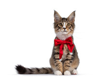Cute Alert Brown Tabby With White Maine Coon Cat Kitten, Sitting Facing Front Wearing Red Velvet Christmas Bow Tie. Looking Curious Straight To Camera. Isolated On White Background.