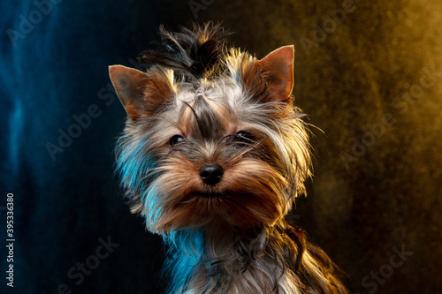 Little Yorkshire terrier dog is posing. Cute playful doggy or pet isolated on neon colored background in smoke cloud. Concept of motion, movement, pets love. Looks happy, delighted, funny.