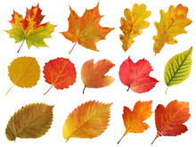 Collection Of Autumn Leaves Isolated On A White Background. Herbarium.