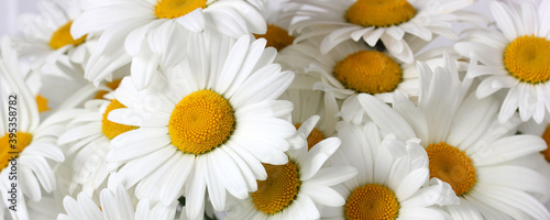 white garden daisies as a background, gentle summer image. Canvas
