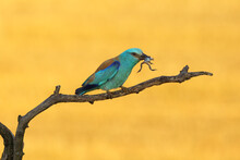The European Roller (Coracias ...