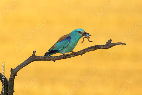 Fotografia The European roller (Coracias garrulus) on a branch with frog in the morning light with yellow field in the background