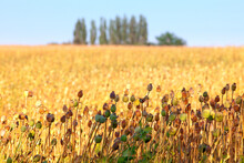 South Bohemia - Field Of Seedheads Of Poppies.