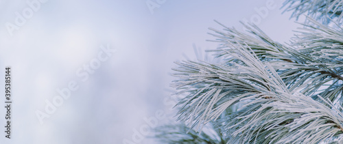 Fotografia Winter panorama of pine branches with snow and frost on a light background for d