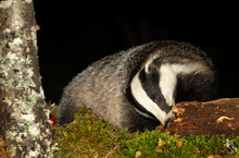 Badger, Scientific Name, Meles Meles.  Wild, Native Badger Foraging On A Decaying Log At Night Time.  Facing Forward With Green Moss And Silver Birch Tree Covered In Lichen.   Space For Copy.