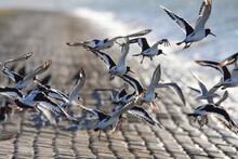 A Group Oystercatchers Is Flying Up From The Seawall Along The Westerschelde Sea At A Summer Evening With High Tide