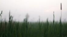 Ground View Slomo Shot Of Distant Man Walking On Foggy Grass Field