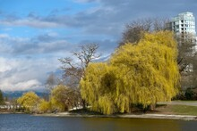 Willow Trees In Spring. Lost L...