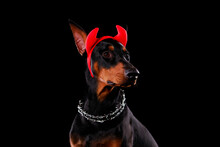 Handsome Young Doberman Portra...