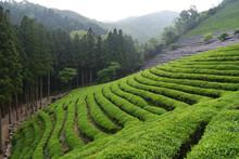 Green Tea Field In Boseong, South Jeolla Province, Korea