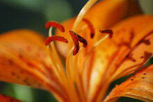 Close Up Of Orange Flower Ather