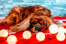 Brown Cavalier King Charles Spaniel Lying On Red Cloth With Christmas Ball Lights