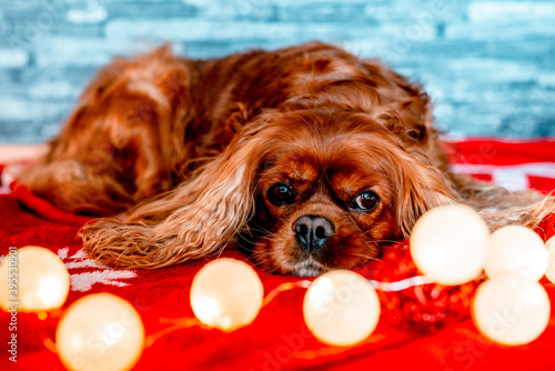 Billede på lærred Brown Cavalier King Charles spaniel lying on red cloth with Christmas ball light