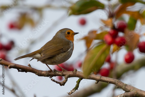 Fototapety, obrazy: Closeup shot of European robin