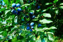 Jesienią Owocuje Dzika Sliwa Zwana Śliwa Tarnina, Tarnina,  (Prunus Spinosa L.)