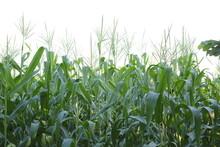 Ripe Corn And Grain, Corncobs ...