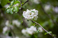 """Malus Sylvestris, The European Crab Apple, Is A Species Of The Genus Malus, Native To Europe. Its Scientific Name Means """"forest Apple"""" And The Truly Wild Tree Has Thorns."""