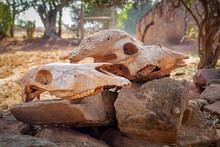 Animal Skulls On The Boulder