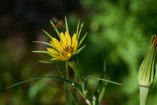 Großer Bocksbart (Tragopogon Dubius)