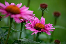 Echinacea Flowers Outside