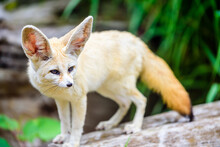 The Fennec Fox (Vulpes Zerda) Is A Small Crepuscular Fox Native To The Sahara Desert And The Sinai Peninsula.