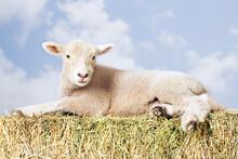 Lamb Lying On Hay Against Sky
