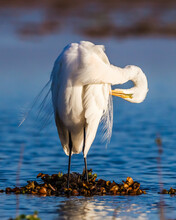 Beautiful White Egret Preens Feahers.