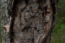 An Old And Large Tree With Cracked Bark And Prominent Wood With Furrows