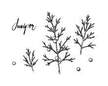 Set Of Hand Drawn Juniper Branches With Berries Isolated On White Background. Vector Illustration In Sketch Style