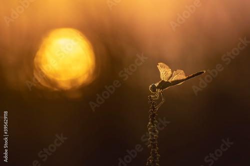 Fotografija Libellule Sympetrum fonscolombii