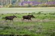 Łosie idące po zielonej polanie blisko zabudowań wiejskich