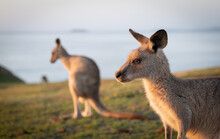 Eastern Grey Kangaroos At Dawn