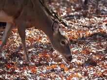 Female Whitetail Deer Grazing In Forest In Autumn