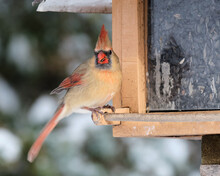 A Female Northern Cardinal, Cardinalis Cardinalis, Sitting At A Feeder Foraging For Food In A Forest Following The First Heavy Snow Fall Of The Season.