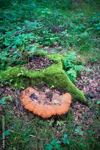 Photo Large artist's conk (Ganoderma applanatum) growin from a tree stump