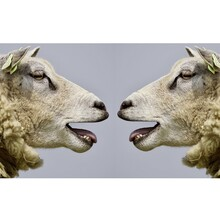 Two Sheep Crowing.
