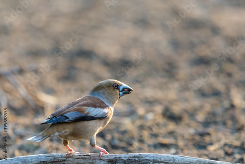 A common hawfinch or Coccothraustes coccothraustes Billede på lærred