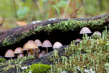 Closeup Shot Of A Mycena Mushrooms Growing In The Forest