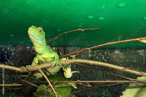 Fotografía Female of Helmet-bearing basilisk or the common basilisk (Basiliscus) is species