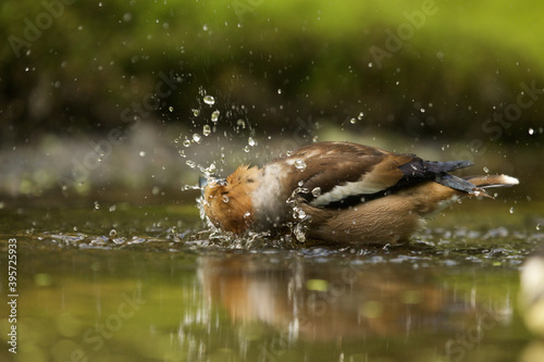 Fototapeta Closeup shot of a hawfinch in the water on blurred background