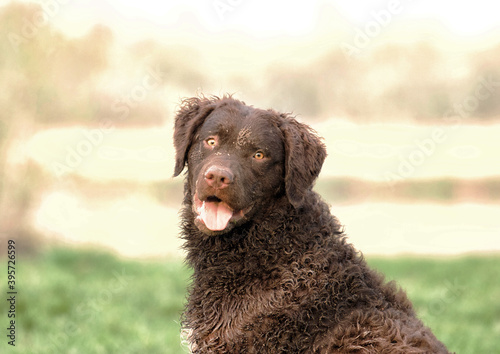 Photo Selective focus shot of an adorable curly-coated retriever