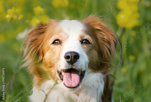 Foto Selective focus shot of an adorable Kooikerhondje dog