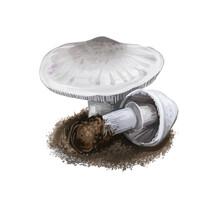 Macrolepiota Excoriata Mushroom Digital Art Illustration. Agaricus Excoriatus Ingredient, Vegetable Family Of Agaricaceae Watercolor Print. Biodiversity Realistic Drawing With Inscription Title