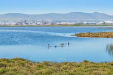 View Of A Lake With Egyptian Geese (Alopochen Aegyptiaca) Swimming In The Water, Cape Town, South Africa
