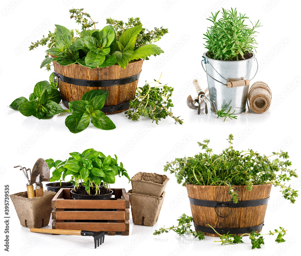 Fototapeta Collage mix set of fresh spicy herb in basket isolated on white background.