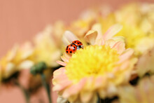 Red Ladybug Spreading Its Wings On A Yellow Chrysanthemum Flower.