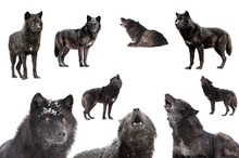 Collage Of Wolves Winter Isolated On A White Background.