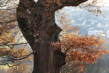 Alter Baum Eiche Zu Einem Gesi...